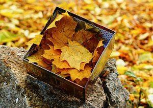 Как лечат суставы кленовыми листьями