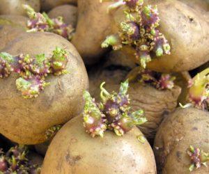 Как применять картофельные ростки для лечения суставов