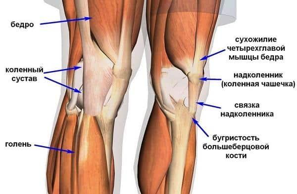 Строение коленного сустава человека