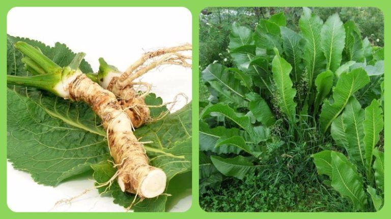 Лечение суставов листьями хрена в домашних условиях 512