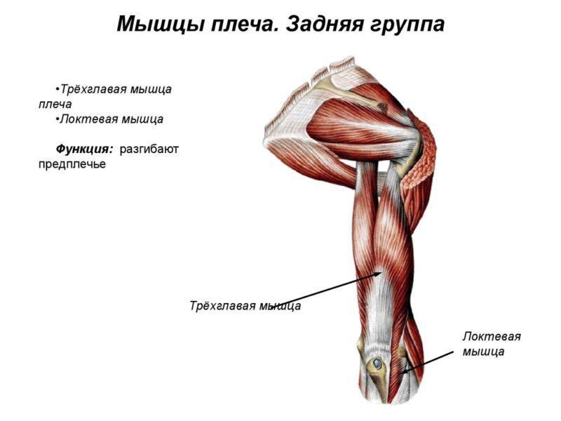 Как устроены мышцы руки
