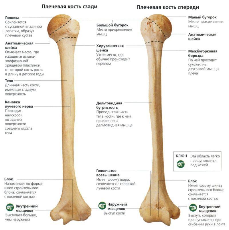 Анатомия плечевой кости человека