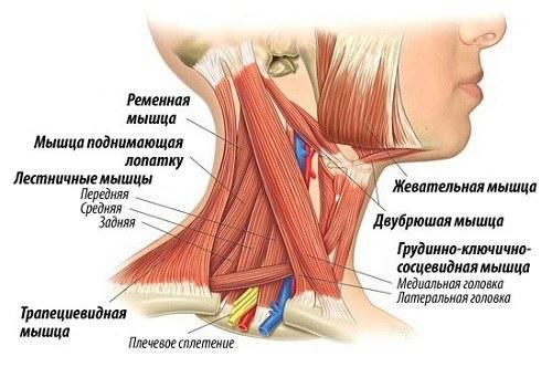 Анатомия и функции мышц шеи