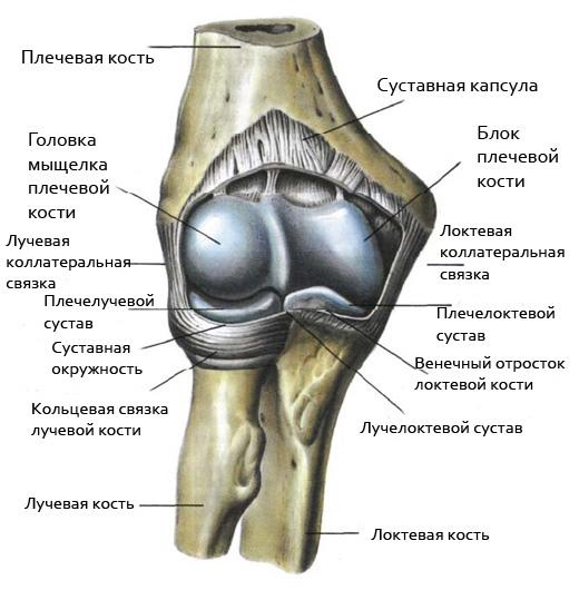 Изображение - Связки локтевого сустава анатомия 76294_-TV-TBTGTBTV-3