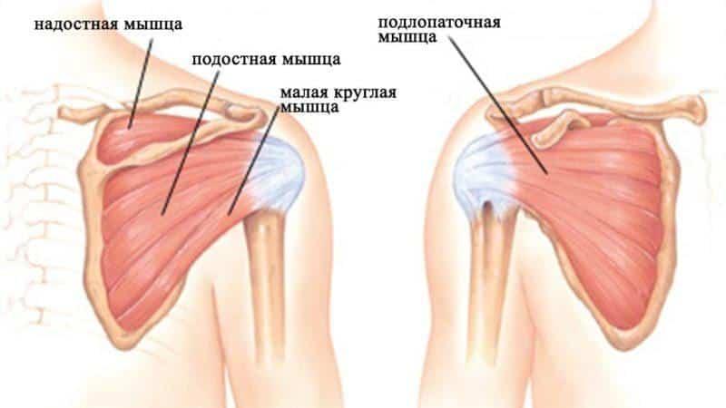 Как устроен плечевой сустав у человека