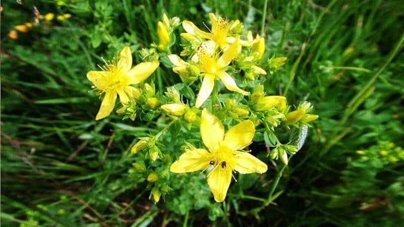 Какие травы имеют противовоспалительный эффект
