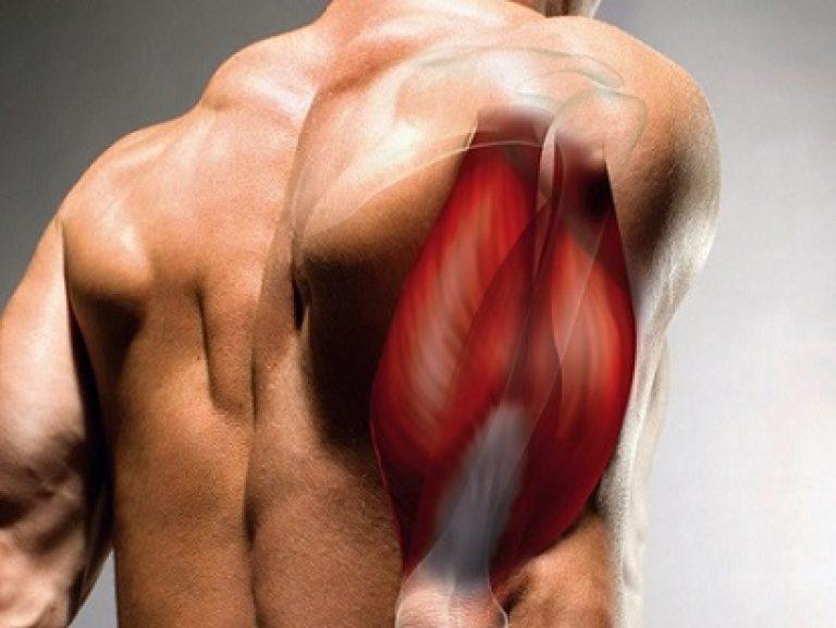 Как устроены мышцы плеча человека