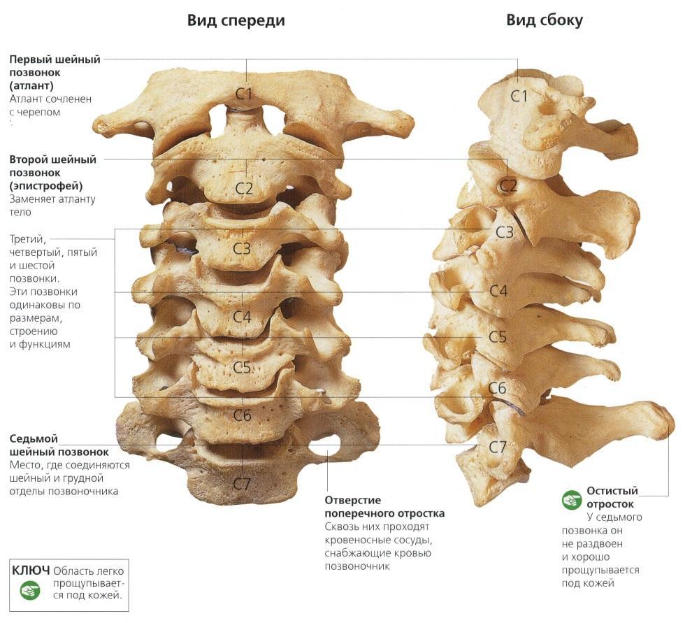 Какое соединение между костями позвоночника