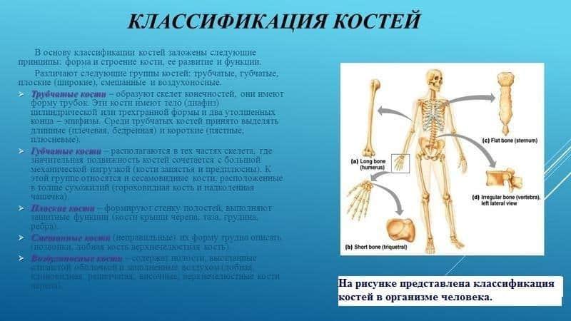 На какие виды подразделяют кости человека