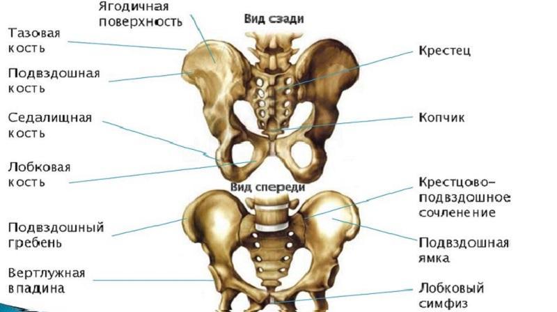 Как устроена седалищная кость