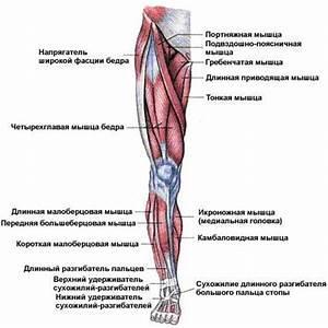 Строение мышц ног