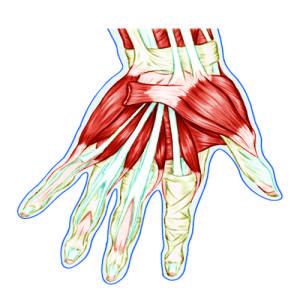 Как устроена рука человека