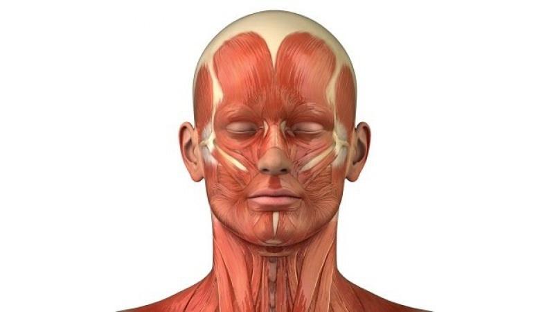 Анатомия мышц шеи и головы