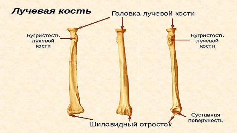 Как устроена лучевая кость