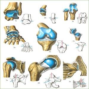 Как соединяются кости у человека