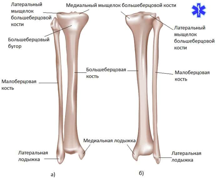 Анатомия берцовых костей